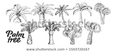Palm Leaves Tree High Trunk Monochrome Vector Stock photo © pikepicture
