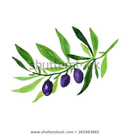 Rolniczy świeże drzewo oliwne oddziału plakat wektora Zdjęcia stock © pikepicture