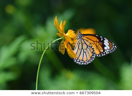 Butterfly (Danaidae), common tiger Stock photo © Ansonstock