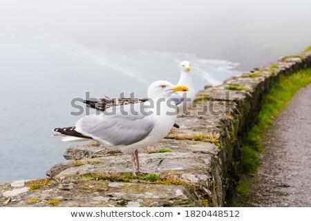 ストックフォト: Two Seagulls On A Wall