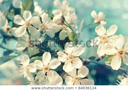 Apple blossoms on soft blue background stock photo © Sandralise