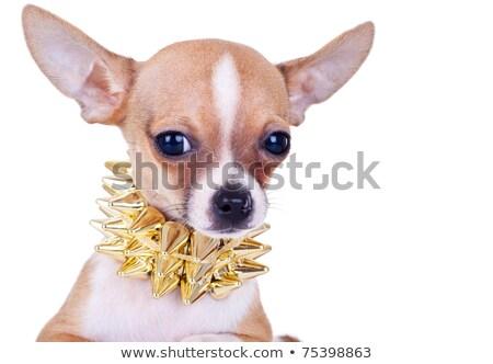 kutyakölyök · arany · felfelé · néz · izolált · fehér · kutya - stock fotó © feedough