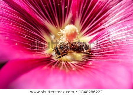 Honey bees live insects pollinate pink flower  Stock photo © sherjaca
