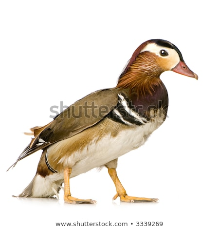 domestic mandarin duck close up stock photo © goce