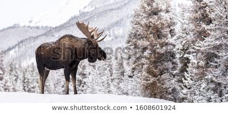 Inverno alce ocultação atrás grupo montanha Foto stock © Lightsource