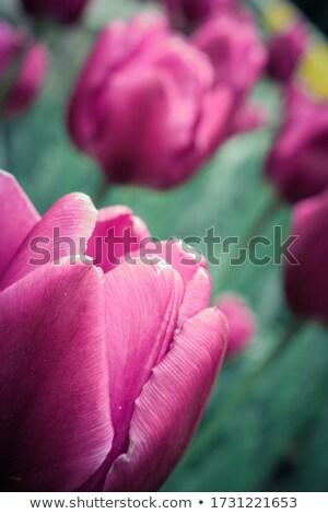 розовый · тюльпаны · белый · природы · фон - Сток-фото © neirfy