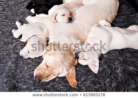 touro · mastim · cachorro · sessão · em · pé - foto stock © willeecole