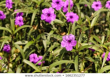 Violet Petunias  Stock photo © Frankljr