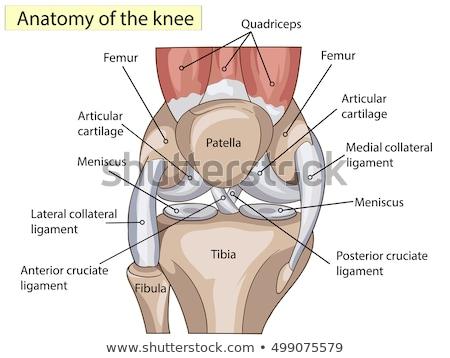 Térd anatómia orvosi emberi láb ízület Stock fotó © Lightsource