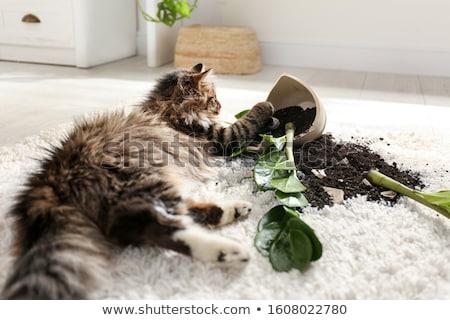 непослушный кошки слушать птица песня Смотреть Сток-фото © kovacevic