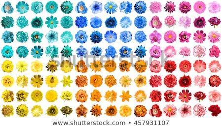Gelb Chrysantheme Blume isoliert weiß Liebe Stock foto © tetkoren