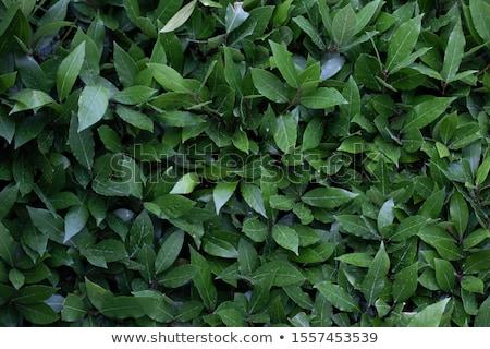 Laurier bladeren textuur drogen patroon Stockfoto © tony4urban