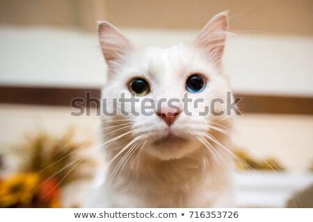 Witte kat Blauw groene ogen muur Stockfoto © meinzahn
