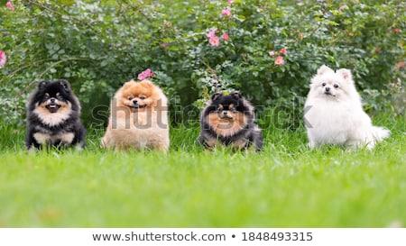 Jovem marrom preto grama cão fundo Foto stock © mariephoto