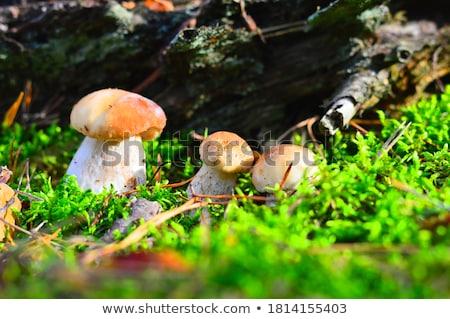 Beyaz yosun güneş büyük büyümek bir mantar türü Stok fotoğraf © romvo