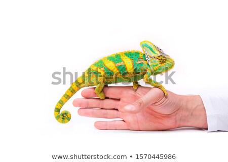 Camaleão mão natureza animal abrir fundo branco Foto stock © zurijeta