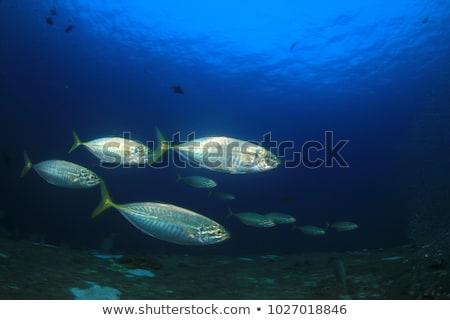 Tuna swimming in the sea Stock photo © bluering