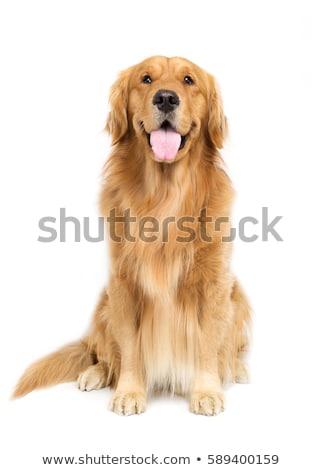 Golden retriever sitting in a white studio Stock photo © vauvau