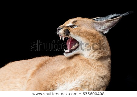 beautiful caracal lynx over black background stock photo © svetography