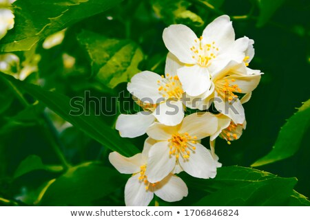 Beautiful delicate spring flowers buds. Stock photo © lithian