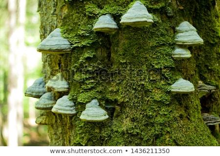 Fa gombák ugatás közelkép Stock fotó © manfredxy