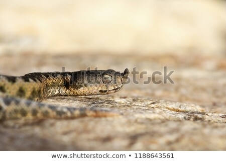 macro shot of european nose horned viper Stock photo © taviphoto