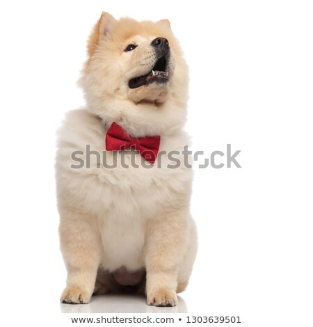 shocked chow chow wearing red bowtie looks up to side Stock photo © feedough