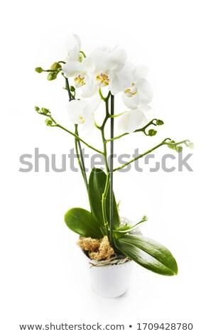 Izolált virág egyezség üveg váza közelkép Stock fotó © manfredxy