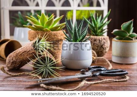 Toplama etli bitkiler ev bahçıvanlık fikir Stok fotoğraf © brebca
