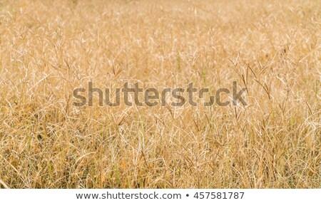 dry grass background Stock photo © nuttakit