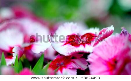 Dianthus Corona Cherry Magic Stock photo © hlehnerer