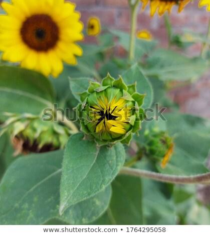 Napraforgó stigma stílus kert nyár olaj Stock fotó © visdia