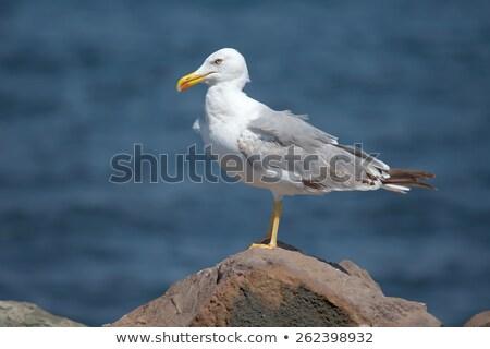 большой чайка рок воды пляж морем Сток-фото © ultrapro