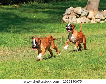 german boxer puppy stock photo © fesus