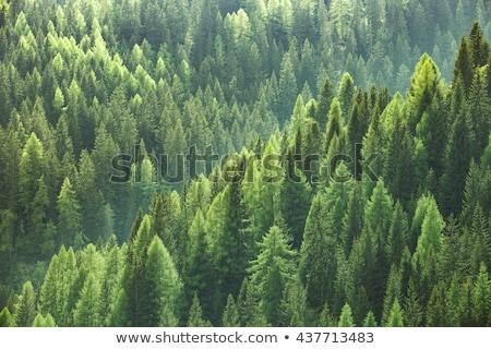 evergreen · foresta · inverno · foglie · caduta - foto d'archivio © val_th