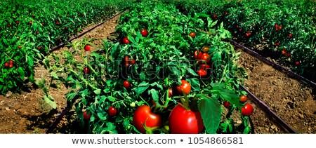 ストックフォト: トマト · フィールド · オーガニック · トマト · 春 · 食品