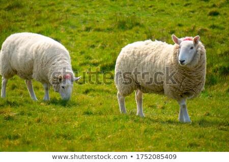 Lamb grazing in field Stock photo © speedfighter
