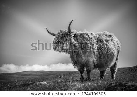 肖像 · いい · ブラウン · 牛 · フィールド · 自然 - ストックフォト © michaklootwijk