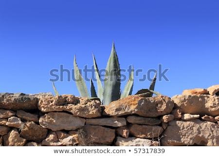 Agavé mediterrán növény kőfal mögött kőművesmunka Stock fotó © lunamarina