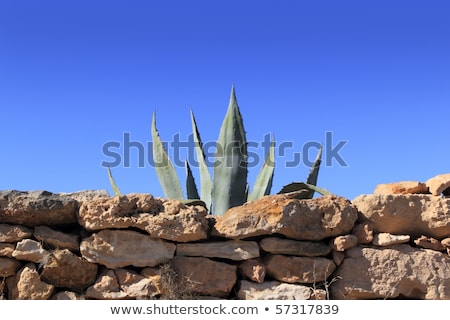 Agave mediterrânico planta stonewall atrás alvenaria Foto stock © lunamarina
