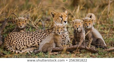 Cheetah family Stock photo © dirkr
