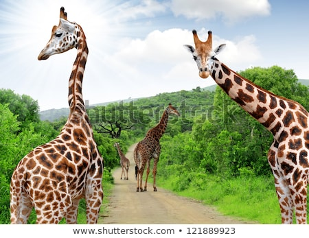walking giraffe in south africa stock photo © compuinfoto