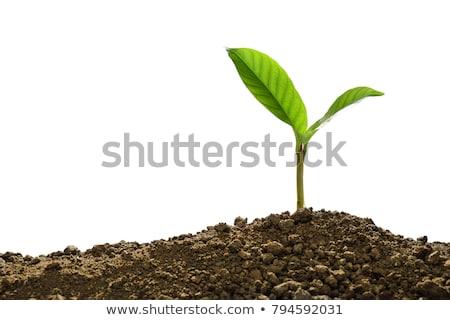 дерево рассада растущий изолированный белый небольшой Сток-фото © ambientideas