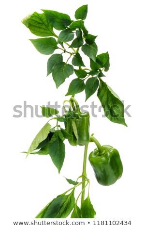 Virágzó ág bors zöld levél izolált fehér Stock fotó © boroda