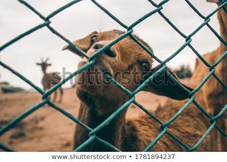 Sheep lamb biting fence Stock photo © ottoduplessis