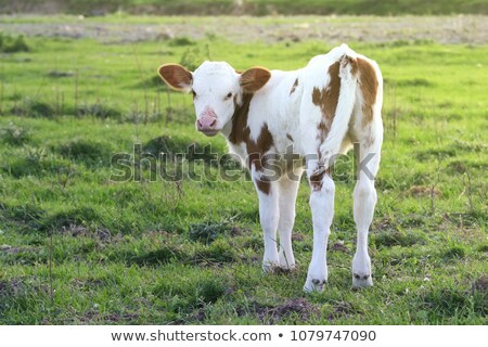 Gray and White Calf in a Pasture Stock photo © rhamm