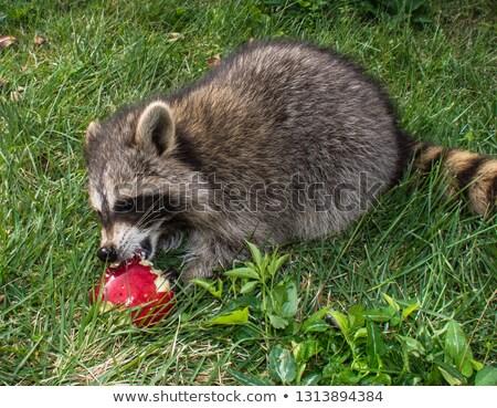 Rakun yeme elma görüntü hayvanat bahçesi hayvanlar Stok fotoğraf © taviphoto