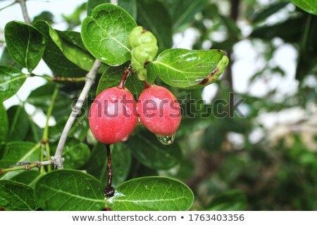 Miracle fruit Stock photo © tang90246
