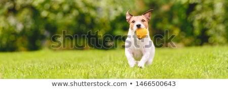 Fetching the Ball Stock photo © JFJacobsz