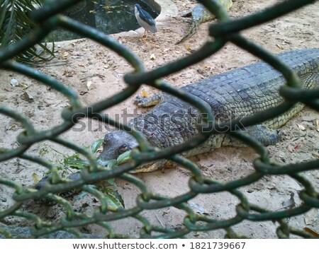 krokodil · baba · víz · zöld · farm · bőr - stock fotó © valeriy